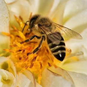 CM1-CM2 : le monde des abeilles et de l'apiculture